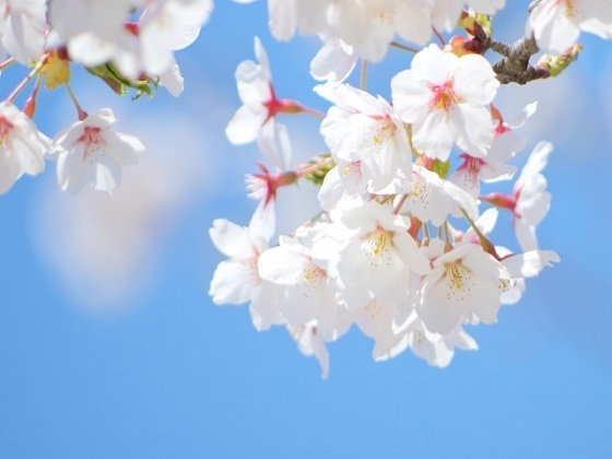 桜の花を撮影してコメント♪