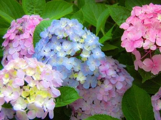 紫陽花を撮影してコメント♪